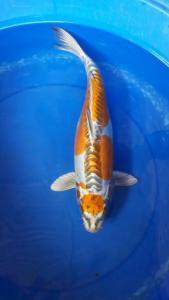 690-Akrimna fish - blitar-BKC - Blitar- Kawarimo -43cm -wedok