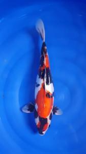 635-Kanigoi-Blitar-BKI Blitar-Blitar-Doitsu-45cm-Female
