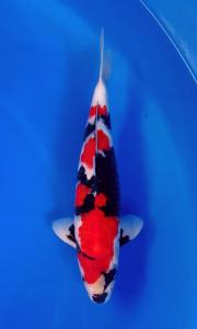 404-Herry Brotherhood-Bandung -San Cherry Koi Centre-SUKABUMI-showa-35 cm-085720872011
