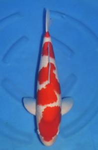 434-Agustiono Kusumadi-Kudus-Twin Koi-Garut-Kohaku-54 cm