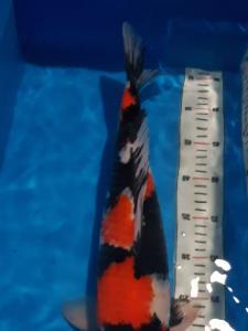 763-nanang-sidoarjo-basudhev koi-sidoarjo-Showa sanshoku-44cmm-male