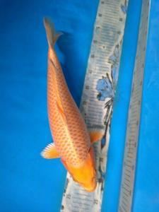 348-HARTOYO-banyuwangi-gianto-banyuwangi-Ogon 48cm female