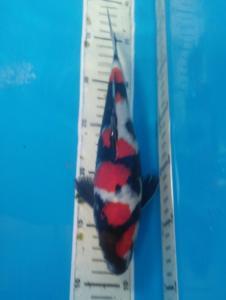 647-Koipemula - Jakarta - Zna Blitar - Blitar - Showa - 24 cm - Male