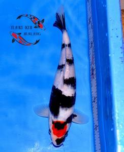 263-Andre Rachman-Surabaya-Naki Koi-Malang-Tancho-30cm-Female